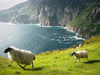 Sheep on Bun Glas, Slieve League