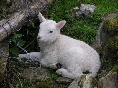 A local lamb relaxing.